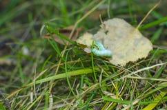 Listvorotka de Caterpillar Foto de archivo libre de regalías