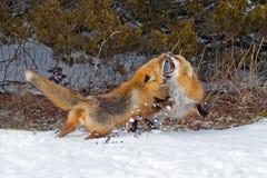 lisy czerwoni Zdjęcie Stock