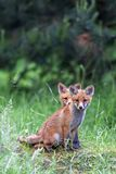Lisy w lesie Obrazy Stock