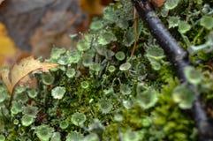Liszaj (Cladonia fimbriata) Zdjęcia Royalty Free