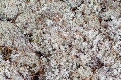 Liszaj - Cladonia rangiferina jako tło obrazy stock