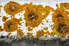 liszaj i inne rośliny na grunchy ścianie obrazy royalty free