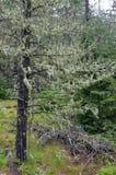 Liszaj i mech zawijający drzewa zdjęcia stock