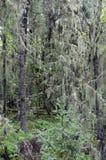 Liszaj i mech zawijający drzewa zdjęcia royalty free