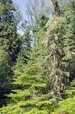 Liszaj i mech zawijający drzewa obrazy stock