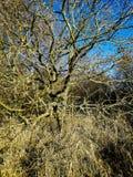 Liszaj na drzewach w Combe dolinie, Bexhill, East Sussex, Anglia obraz stock