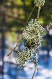 Liszaj na gałąź stara świerczyna w iglastym lesie, fotografia royalty free
