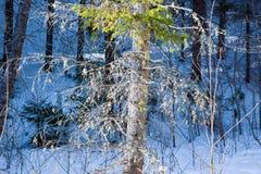 Liszaj na gałąź stara świerczyna w iglastym lesie, fotografia stock