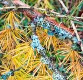 Liszaj na modrzewiowej gałązce w jesieni Zdjęcia Stock