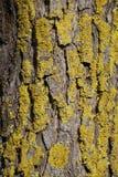 Liszaj na wierzby barkentynie Drzewny bagażnik struktura Zieleń i skoczny zdjęcie stock