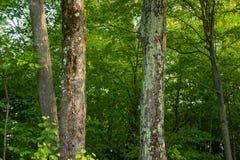 Liszaj r na iglastym drzewie w borealnym lesie Northwoods obraz royalty free
