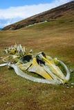 Liszaj zakrywał wielorybiego kośca na trawiastego zbocza Falkland Zachodniej wyspie, Falkland wyspy zdjęcie royalty free