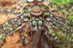 Liszaju hunstman pająk z zdobyczem obraz royalty free