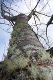 Liszaju mech Drzewnego bagażnika zakończenie Up Zdjęcie Stock
