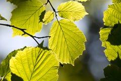 Lit-Blätter Stockbild