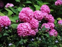 Lit de fleur avec le chrysanthème pourpre sur le fond vert Image stock
