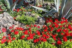 Lit de fleur avec le géranium et l'aloès rouges, Turquie Photo libre de droits