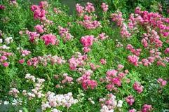 Lit de fleur de Rose dans le jardin Photographie stock