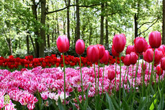 Lit de fleur des tulipes sur le fond des arbres Image stock