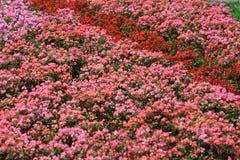 Lit de fleur du bégonia Photographie stock libre de droits