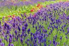 Lit de fleur estival avec la lavande et les roses photos libres de droits