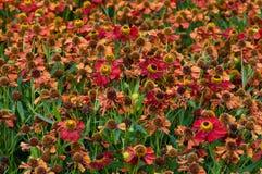 Lit de fleur de Helenium dans la saison d'été Photographie stock libre de droits