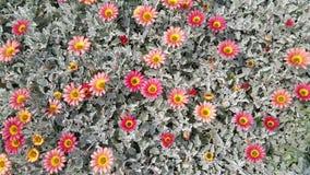 Lit de fleur de marguerite Photos stock