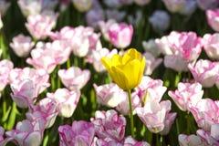Lit de l'élevage de tulipes Image libre de droits