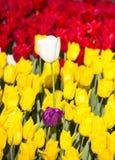 Lit de l'élevage de tulipes Image stock