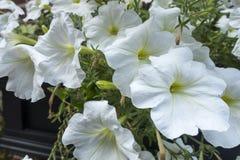 Lit de la plage blanche Moonflowers de fleurs photos stock
