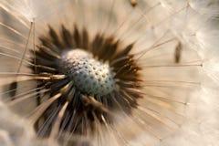 Lit del diente de león de Evening Sun Foto de archivo libre de regalías