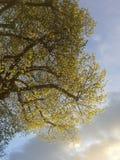Lit del fogliame della primavera dal tramonto Immagine Stock Libera da Diritti