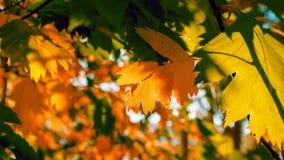 Lit dourado e verde das folhas por raios de The Sun Fundo colorido Autumn Golden Foliage imagens de stock royalty free