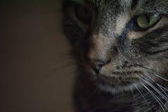 Lit dura Tabby Cat Immagine Stock Libera da Diritti