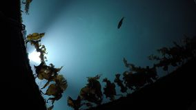 Lit marina water with slowly moving brown seaweed and small fish swimming. Towards the light stock footage