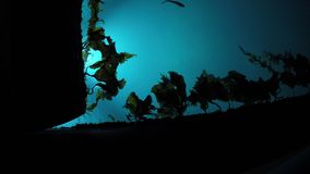 Lit marina water with slowly moving brown seaweed and small fish swimming. Towards the light stock video footage