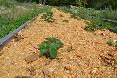Lit paillé de fraise dans le jardin photo libre de droits