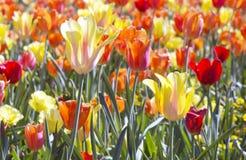Lit rétro-éclairé des tulipes rouges et bleues mélangées Images libres de droits