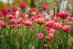 Lit rouge des tulipes dans le jardin de chutes du Niagara, Canada Photo stock
