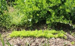 Lit vert clair très jeune de laitue romaine dans mon jardin organique photographie stock