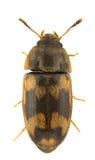 litargus connexus Стоковая Фотография RF
