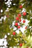 Litchi плодоовощ Стоковые Фотографии RF