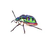 Litchi Bug , Tong Taek Bug, Chrysocoris stollii on white backgro Stock Photo