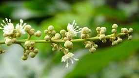 Litchi flowers that are already blooming stock photography