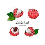 Litchi fruit drawing, Lychee. Watercolor litchi on a white background. Vector illustration stock photography