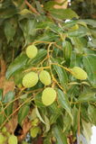 Litchi fruit and plant in thailand Stock Photography