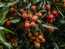 Litchi fruits closeup Stock Photography