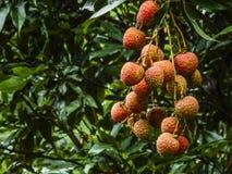 Litchi fruits closeup Royalty Free Stock Photos