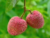 Litchi on green  background Stock Image