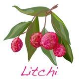Litchi isolato Vettore Fotografia Stock Libera da Diritti